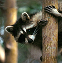 raccoon_clearcode_face_10