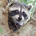 raccoon_clearcode_face_12