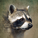 raccoon_clearcode_face_15