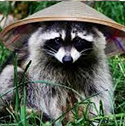 raccoon_clearcode_face_2