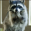 raccoon_clearcode_face_3