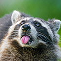 raccoon_clearcode_face_7
