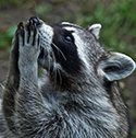 raccoon_clearcode_face_8